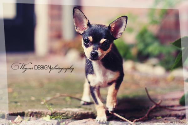 Chihuahua black and tan