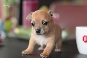 Puppy chihuahua, dierenfotografie