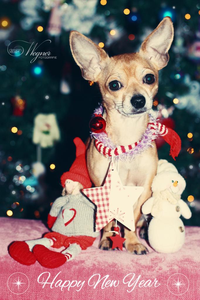 Happy New Year, Chihuahua