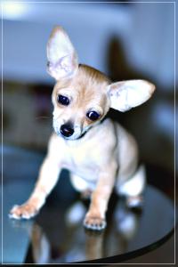 Puppy, Chihuahua