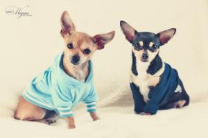 Zwangere Chihuahua